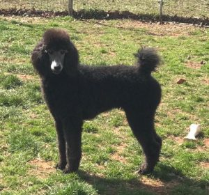 Home - Carolina Poodle Rescue