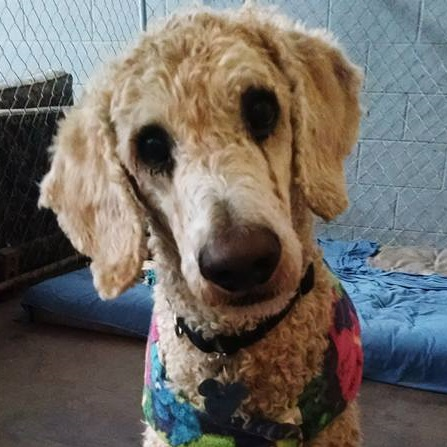 Home Carolina Poodle Rescue