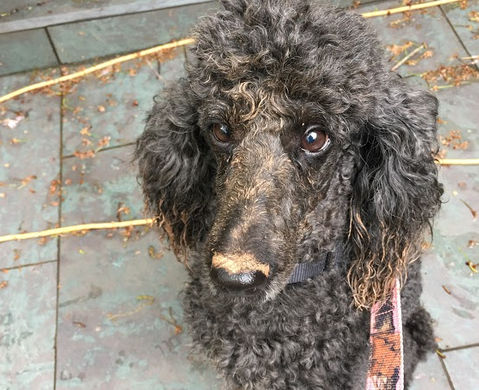 Happy Tails: Madison the Poodle Princess