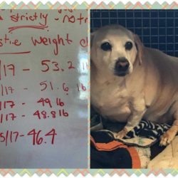 Carolina Poodle Rescue's Biggest Loser – Kirstie's Story