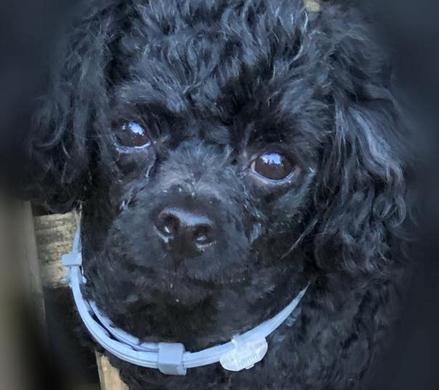 Carolina Poodle Rescue Wins Seresto™ Grant