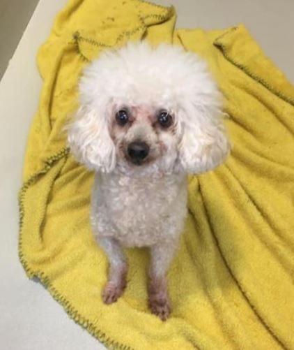 Carolina Poodle Rescue Wins Grant From The Grey Muzzle Organization To Expand Our SOS Program
